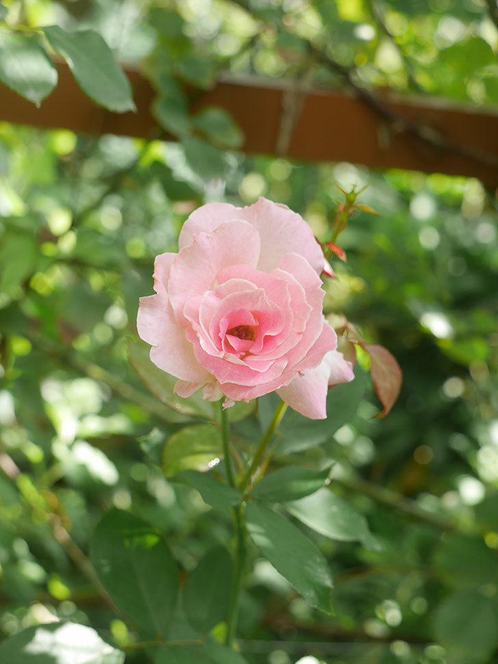 マチルダ(Matilda)の秋花が咲いた。木立バラ。2021年-007.jpg