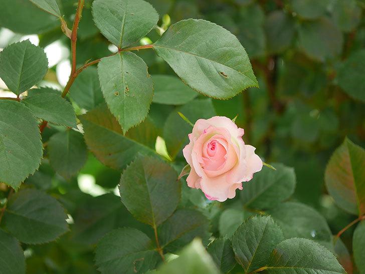 マチルダ(Matilda)の花が咲きだした。木立バラ。2021年-004.jpg