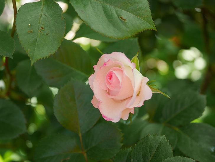 マチルダ(Matilda)の花が咲きだした。木立バラ。2021年-005.jpg