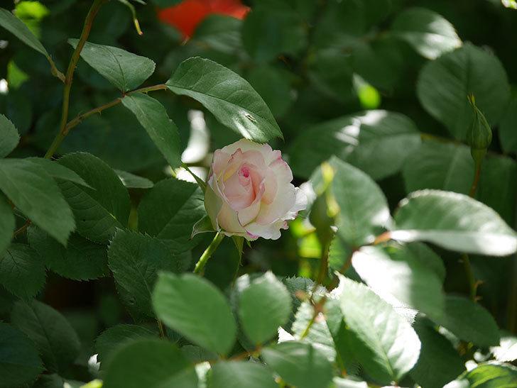 マチルダ(Matilda)の花が咲きだした。木立バラ。2021年-010.jpg