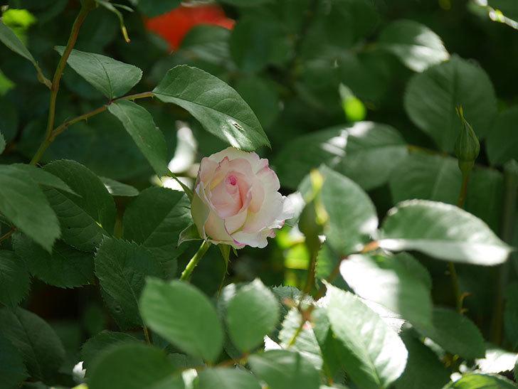マチルダ(Matilda)の花が咲きだした。木立バラ。2021年-011.jpg