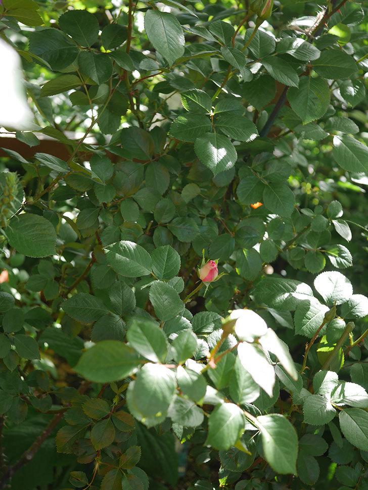 マチルダ(Matilda)の蕾が膨らんできた。木立バラ。2021年-008.jpg