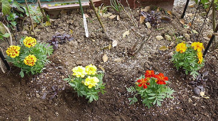マリーゴールドをバラの周りに地植えした。2016年-1.jpg