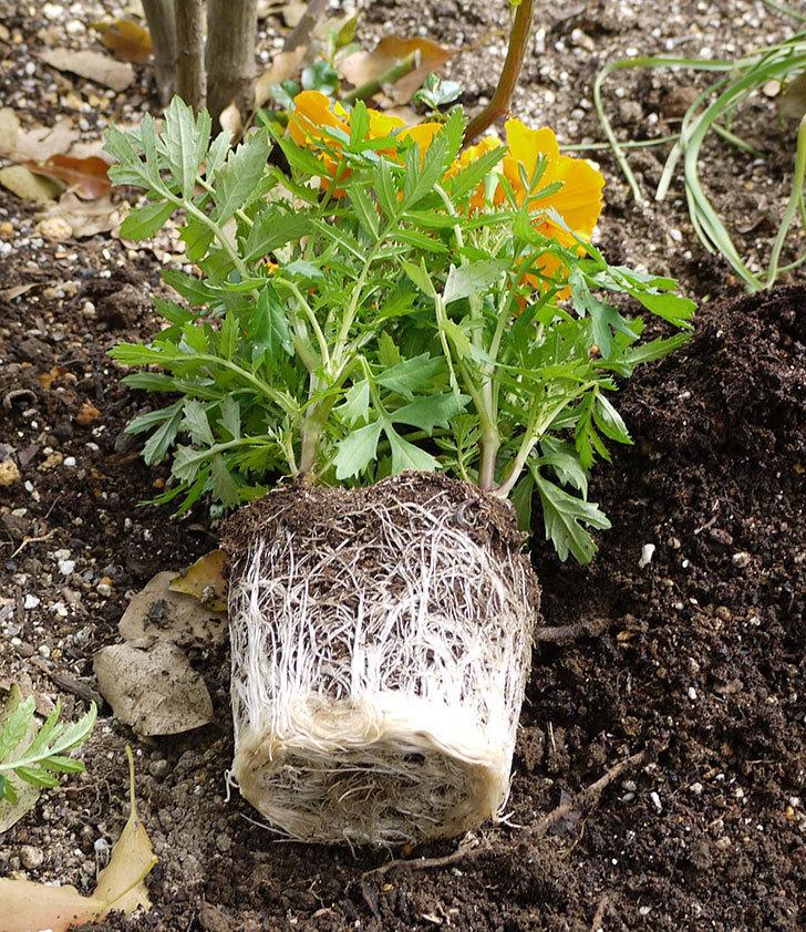 マリーゴールドをバラの周りに地植えした。2016年-5.jpg