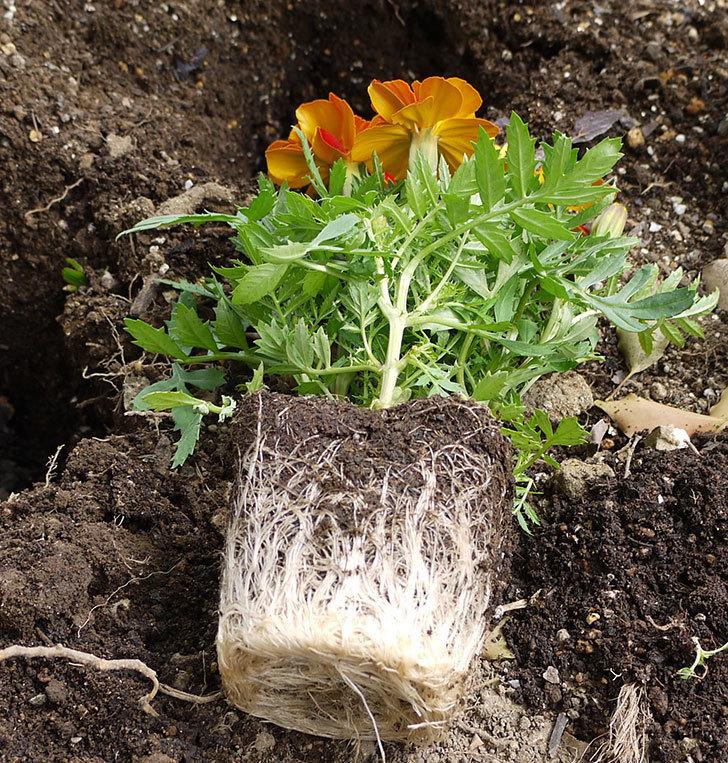 マリーゴールドをバラの周りに地植えした。2016年-6.jpg
