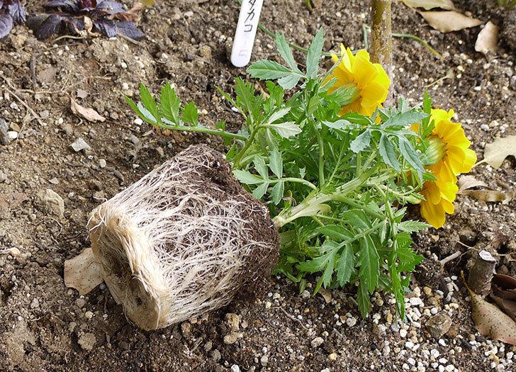 マリーゴールドをバラの周りに地植えした。2016年-7.jpg