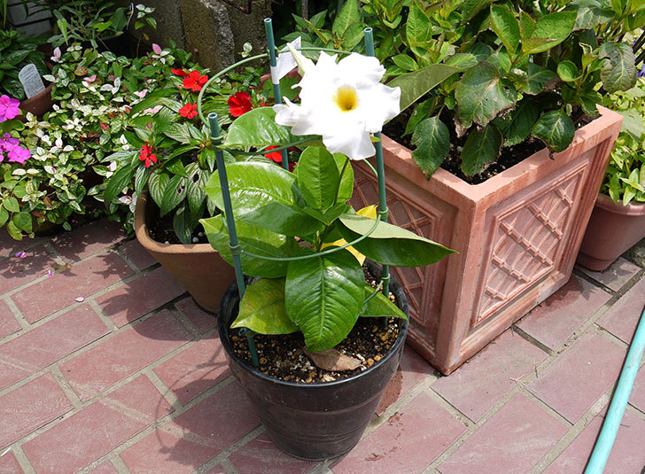 マンデビラ-ブライドカスケードの花が咲いた2.jpg
