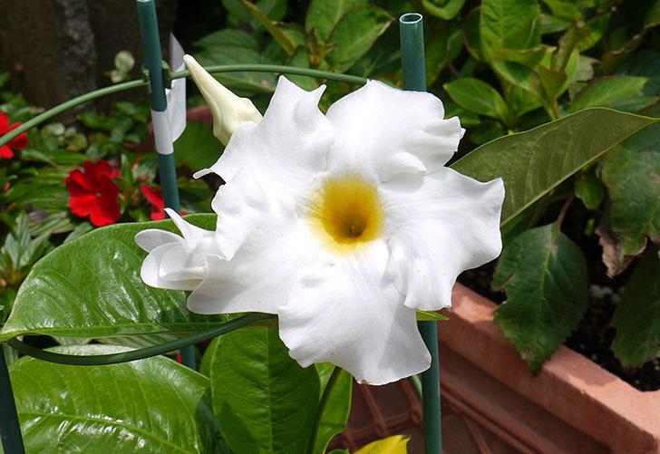 マンデビラ-ブライドカスケードの花が咲いた3.jpg