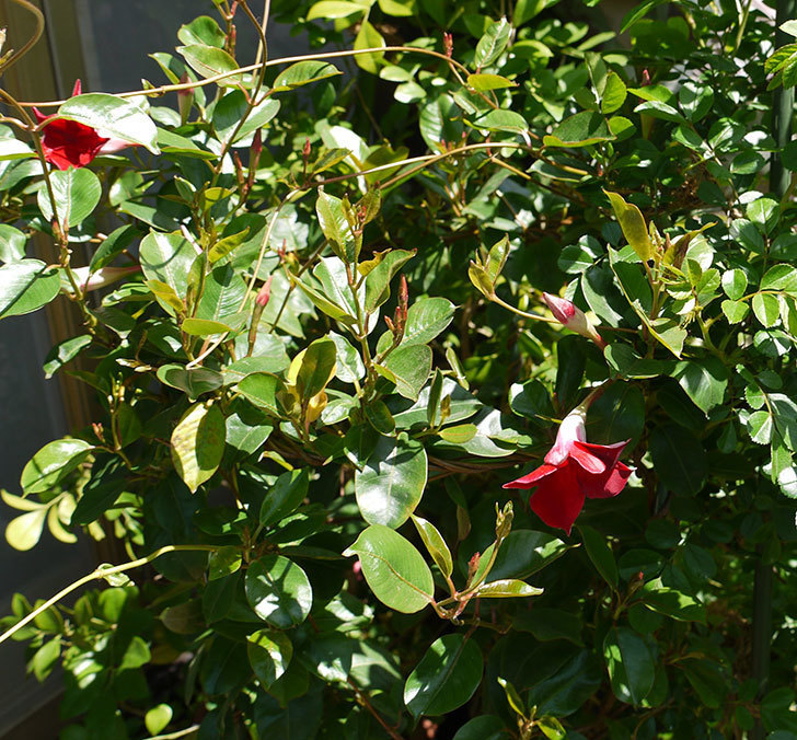 マンデビラ-リップギャルシリーズ-レッド5の花が咲いた。2016年-5.jpg