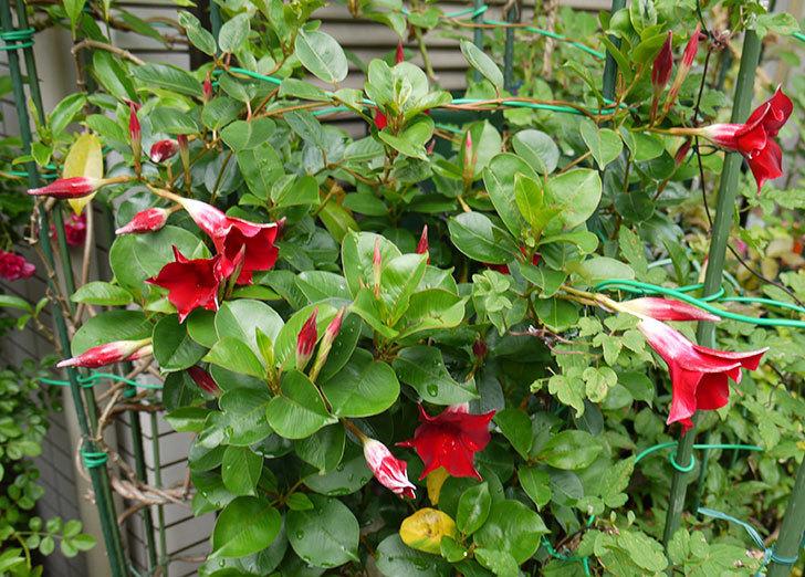 マンデビラ-リップギャルシリーズ-レッド5の花が増えてきた。2016年-1.jpg