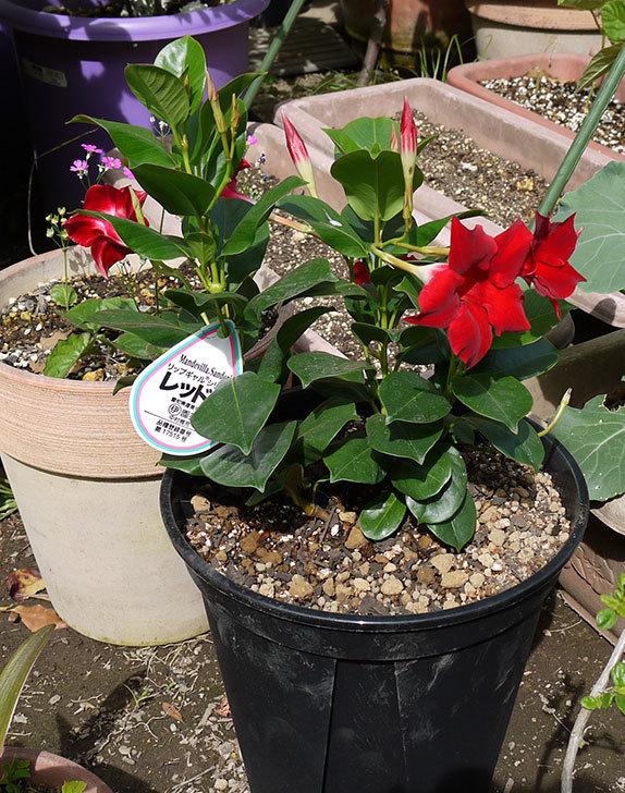 マンデビラ-リップギャルシリーズ-レッド5をスリッド鉢に植えた1.jpg