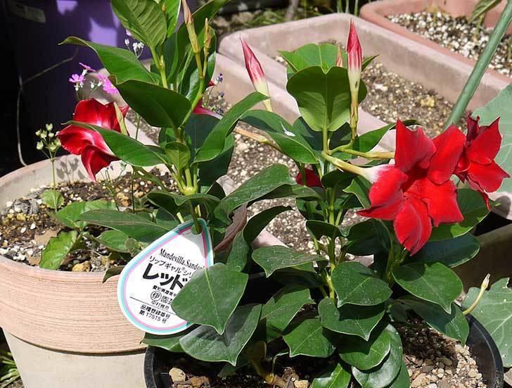 マンデビラ-リップギャルシリーズ-レッド5をスリッド鉢に植えた5.jpg