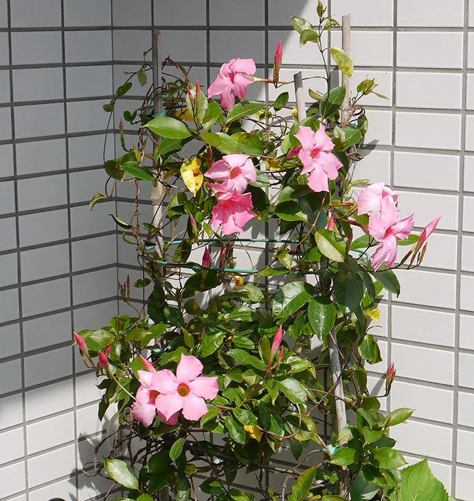 マンデビラが、たくさん咲いた2.jpg