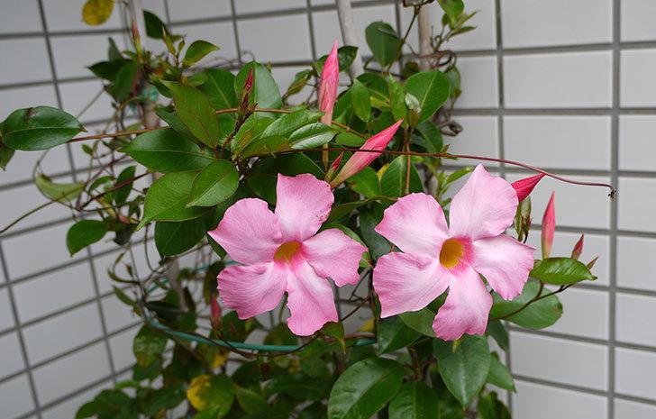 マンデビラが咲いた1.jpg