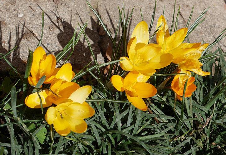 マンモスイエロー(クロッカス)の花がたくさん咲いた。2019年-3.jpg