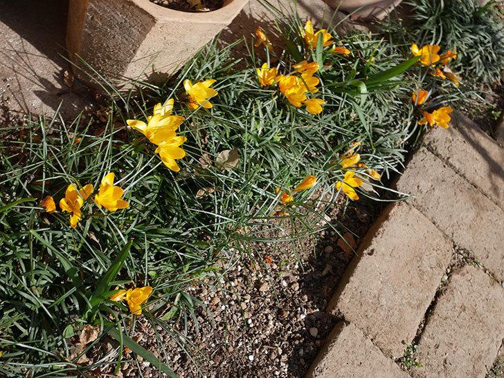 マンモスイエロー(クロッカス)の花がたくさん咲いた。2020年-10.jpg