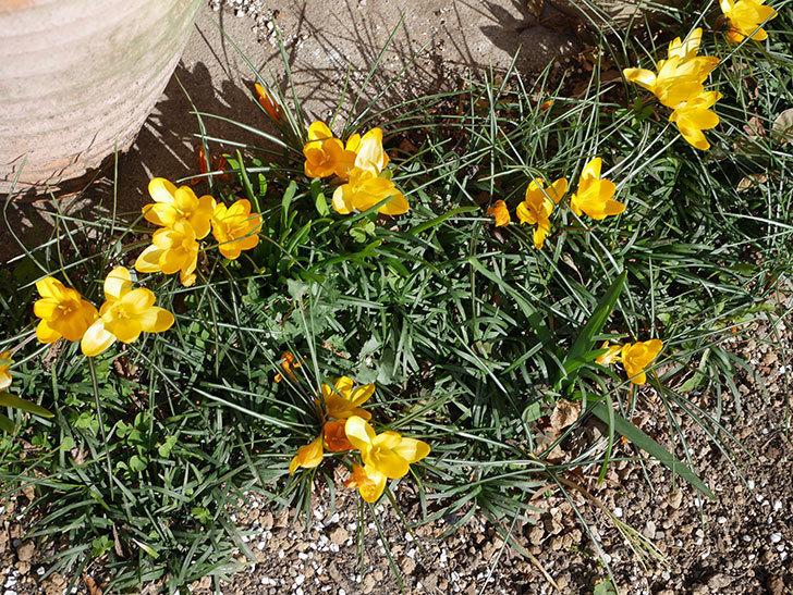 マンモスイエロー(クロッカス)の花がたくさん咲いた。2020年-2.jpg