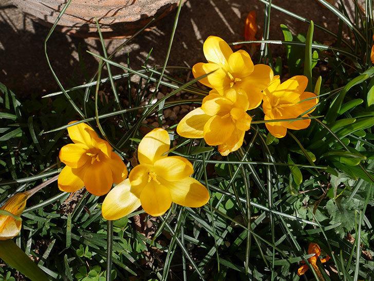 マンモスイエロー(クロッカス)の花がたくさん咲いた。2020年-3.jpg