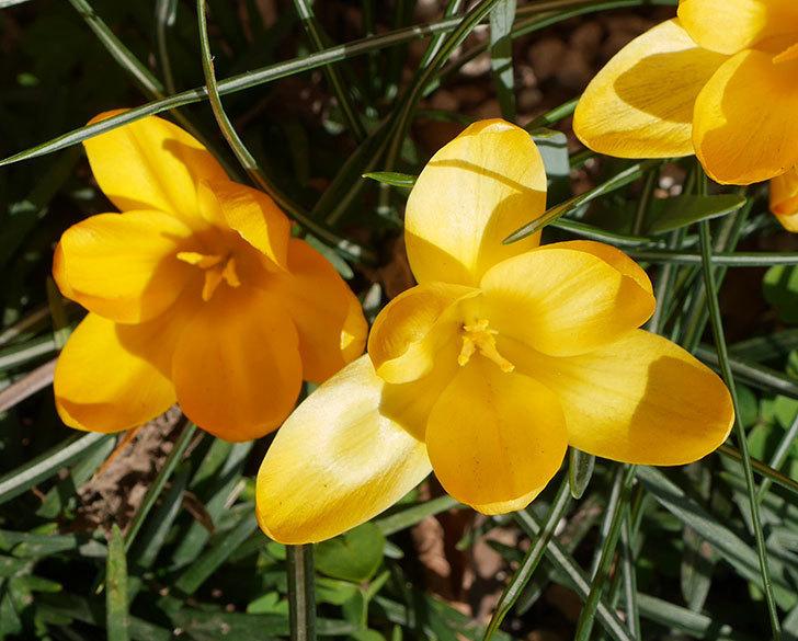 マンモスイエロー(クロッカス)の花がたくさん咲いた。2020年-4.jpg