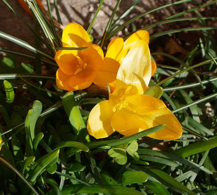 マンモスイエロー(クロッカス)の花がたくさん咲いた。2020年-5.jpg