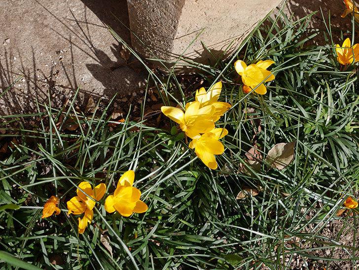 マンモスイエロー(クロッカス)の花がたくさん咲いた。2020年-6.jpg