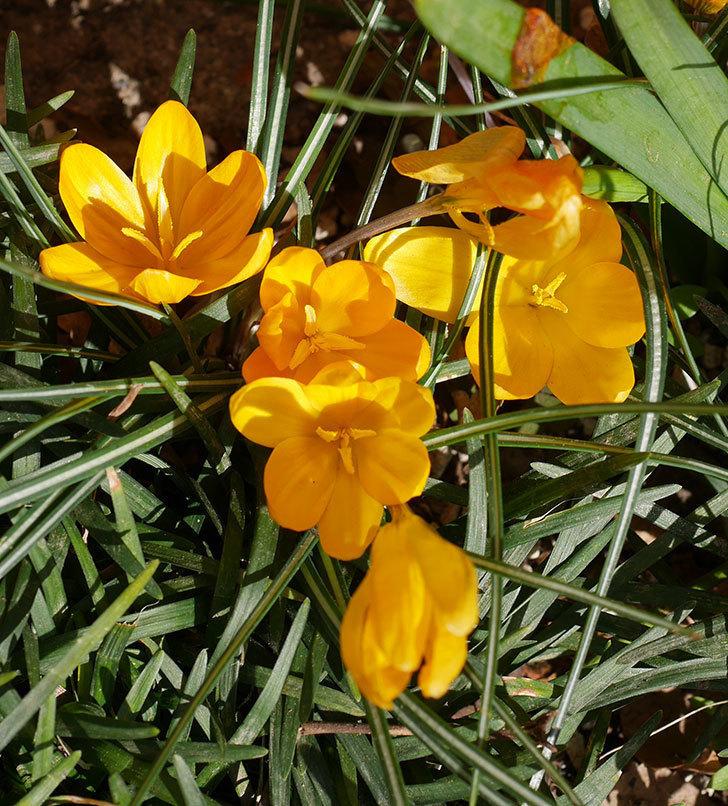 マンモスイエロー(クロッカス)の花がたくさん咲いた。2020年-7.jpg
