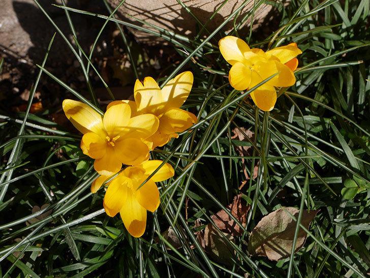 マンモスイエロー(クロッカス)の花がたくさん咲いた。2020年-8.jpg