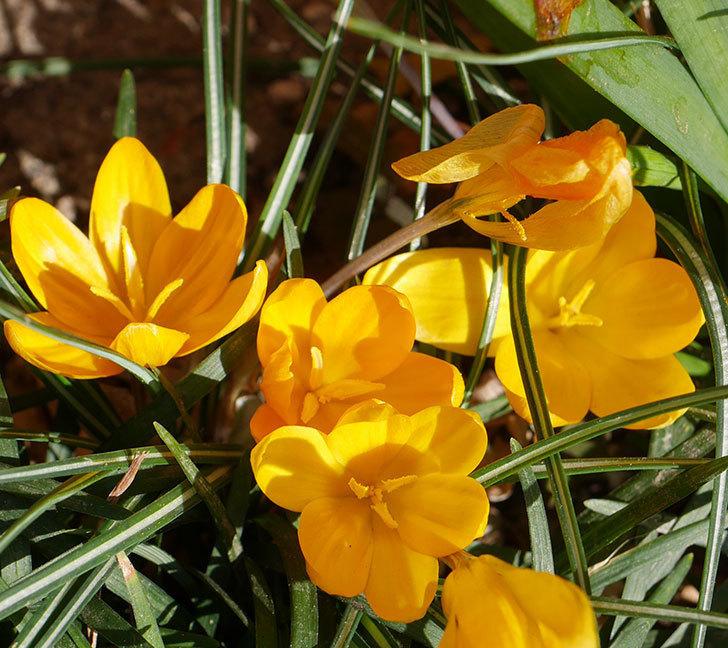 マンモスイエロー(クロッカス)の花がたくさん咲いた。2020年-9.jpg