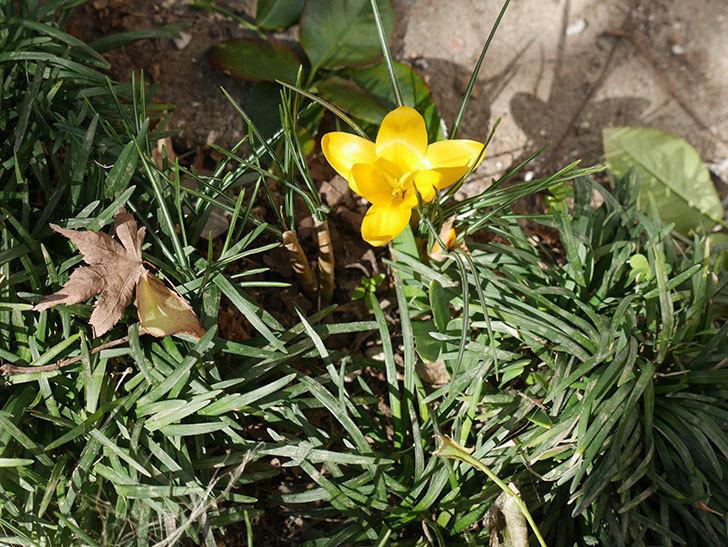 マンモスイエロー(クロッカス)の花が咲きだした。2020年-2.jpg
