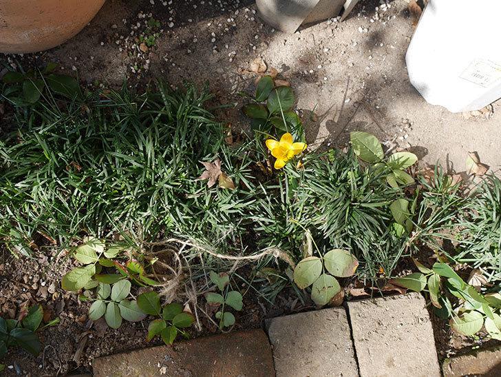 マンモスイエロー(クロッカス)の花が咲きだした。2020年-4.jpg