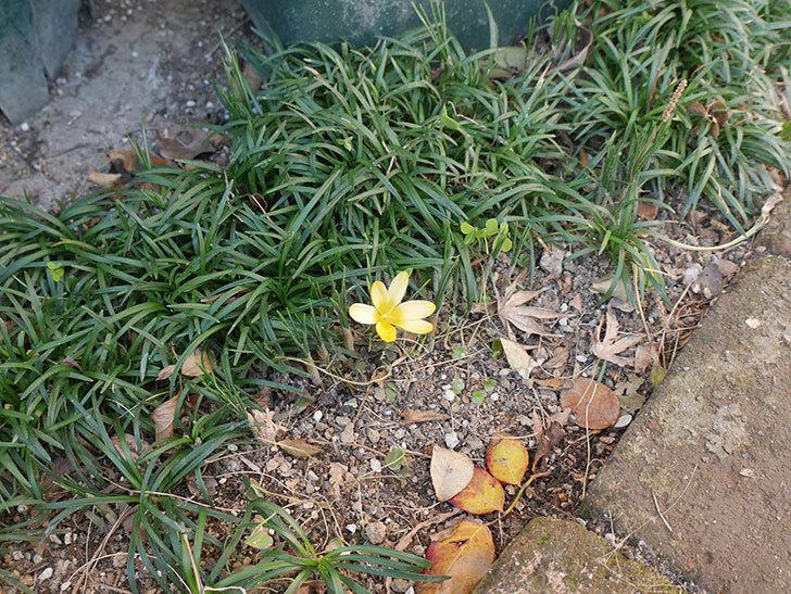 マンモスイエロー(クロッカス)の花が咲きだした。2021年-001.jpg