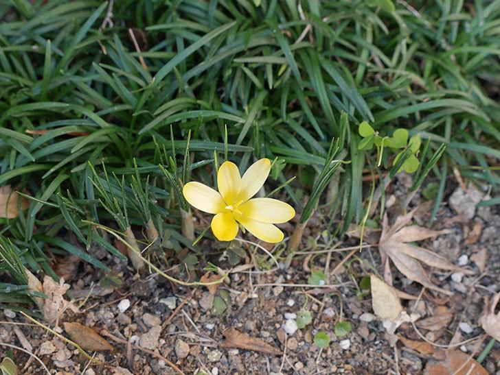 マンモスイエロー(クロッカス)の花が咲きだした。2021年-005.jpg