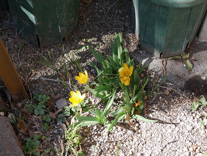 マンモスイエロー(クロッカス)の花が増えてきた。2021年-001.jpg