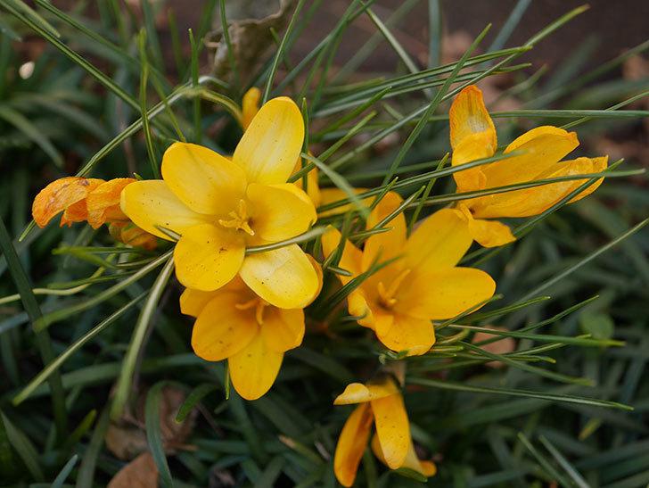 マンモスイエロー(クロッカス)の花が増えてきた。2021年-002.jpg