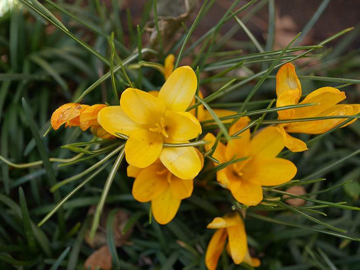 マンモスイエロー(クロッカス)の花が増えてきた。2021年-003.jpg