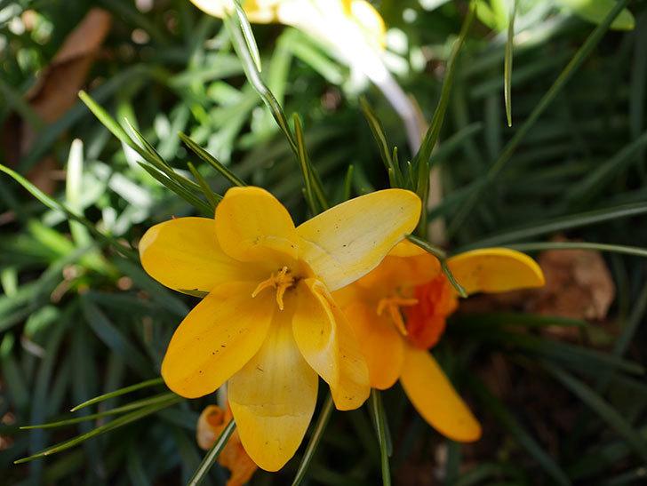 マンモスイエロー(クロッカス)の花が増えてきた。2021年-004.jpg
