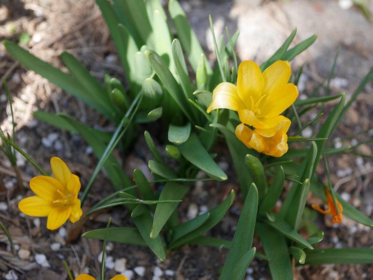 マンモスイエロー(クロッカス)の花が増えてきた。2021年-005.jpg