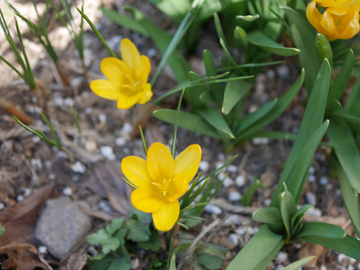 マンモスイエロー(クロッカス)の花が増えてきた。2021年-006.jpg