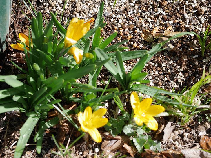 マンモスイエロー(クロッカス)の花が増えてきた。2021年-008.jpg