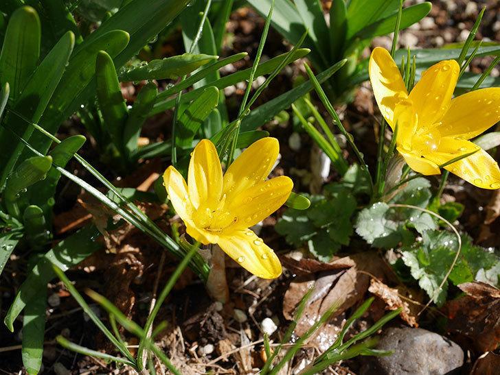 マンモスイエロー(クロッカス)の花が増えてきた。2021年-009.jpg