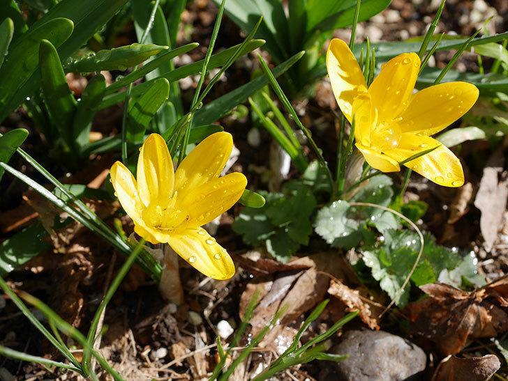 マンモスイエロー(クロッカス)の花が増えてきた。2021年-010.jpg