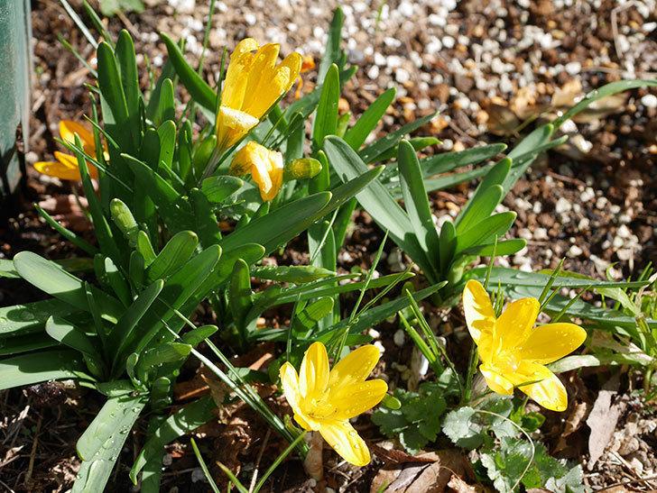 マンモスイエロー(クロッカス)の花が増えてきた。2021年-011.jpg