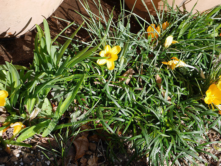 マンモスイエロー(クロッカス)の花が増えてきた。2021年-015.jpg