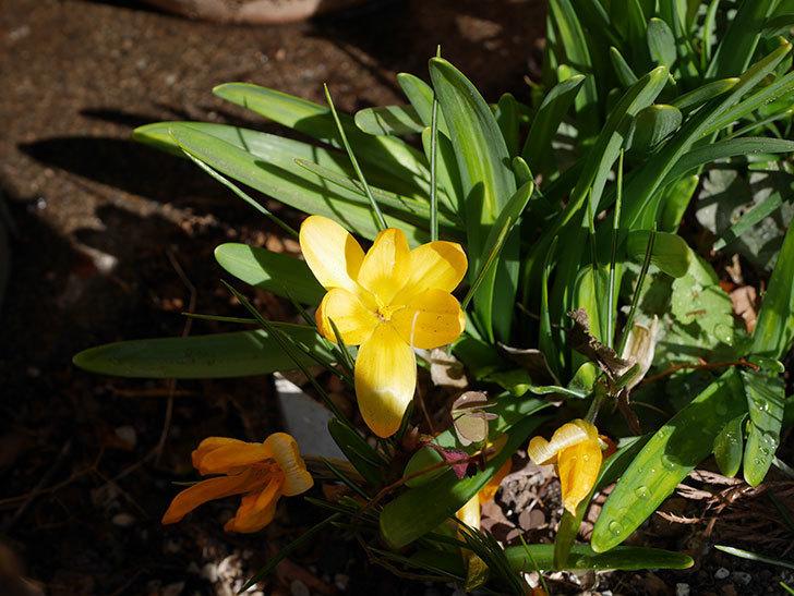 マンモスイエロー(クロッカス)の花が増えてきた。2021年-016.jpg