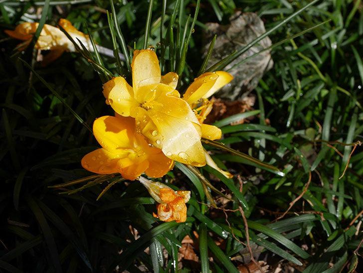 マンモスイエロー(クロッカス)の花が増えてきた。2021年-017.jpg