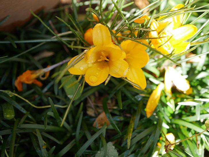 マンモスイエロー(クロッカス)の花が増えてきた。2021年-018.jpg