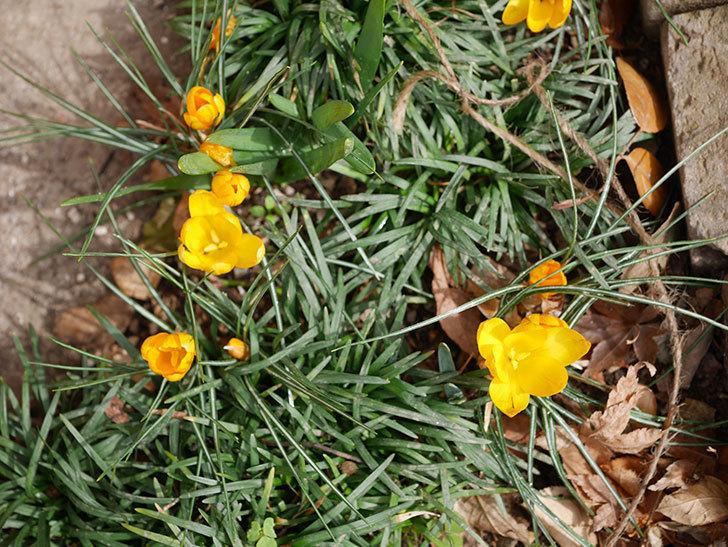 マンモスイエロー(クロッカス)の花が増えて来た。2020年-10.jpg
