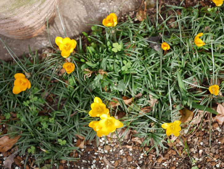 マンモスイエロー(クロッカス)の花が増えて来た。2020年-11.jpg