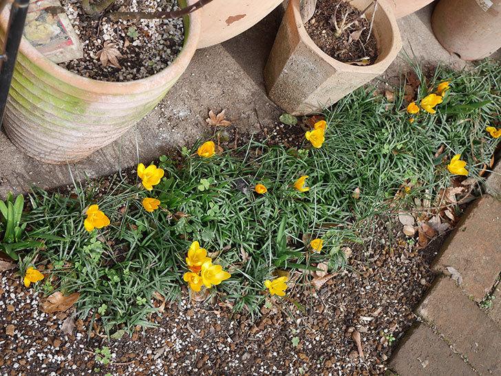 マンモスイエロー(クロッカス)の花が増えて来た。2020年-12.jpg