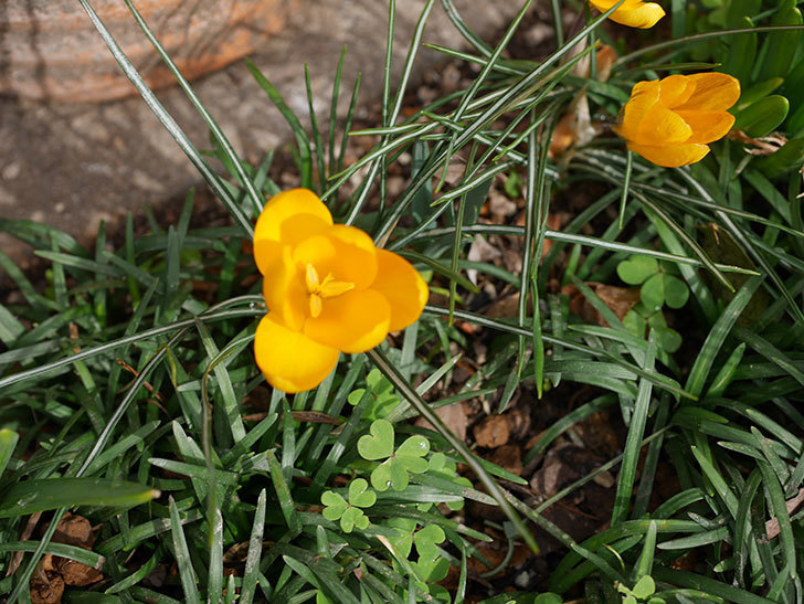 マンモスイエロー(クロッカス)の花が増えて来た。2020年-3.jpg